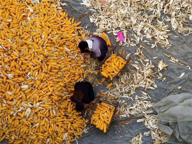 吉林市已完成粮食作物收获面积476.5万亩 第5张