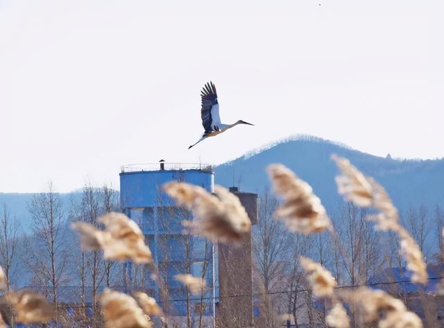 """东方白鹳,""""鸟大熊猫"""",出现在天桥岭。 第1张"""