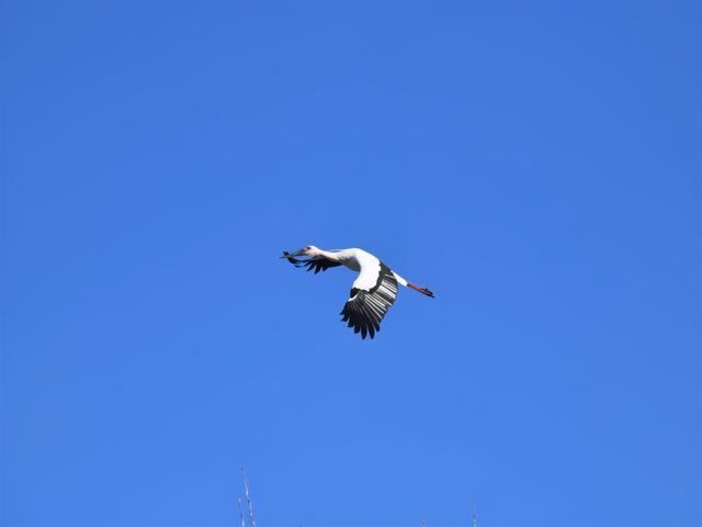 """东方白鹳,""""鸟大熊猫"""",出现在天桥岭。 第4张"""