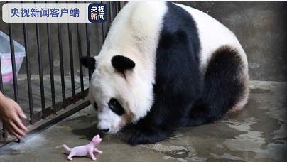 """四只秦岭大熊猫""""萌宝""""诞生了!来给他们起名字。 第2张"""