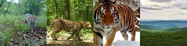 建立自然保护区体系!两位省报记者带你去看《虎豹》 第1张
