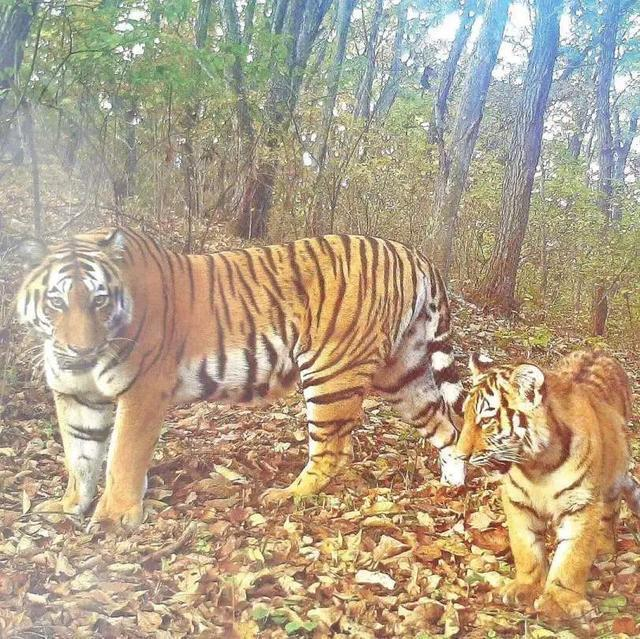 建立自然保护区体系!两位省报记者带你去看《虎豹》 第2张