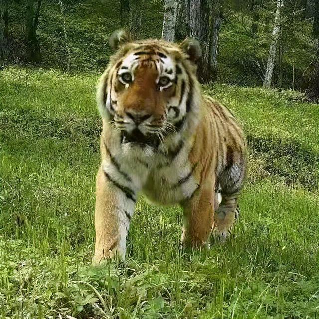 建立自然保护区体系!两位省报记者带你去看《虎豹》 第5张