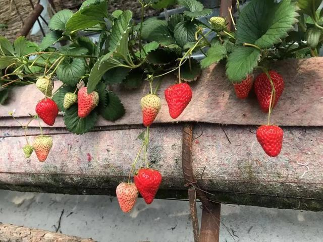 第八届长春市双阳区奢岭草莓温泉旅游节开幕。 第4张