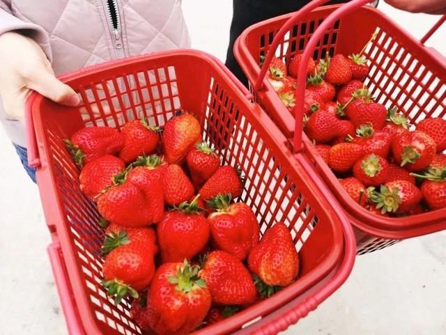 长春周边的草莓采摘攻略来了! 第5张