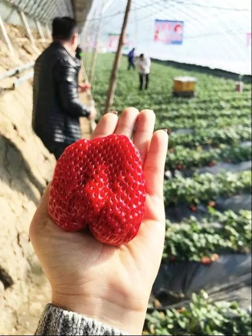 长春周边的草莓采摘攻略来了! 第6张