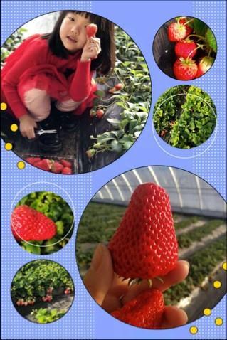 长春周边的草莓采摘攻略来了! 第10张