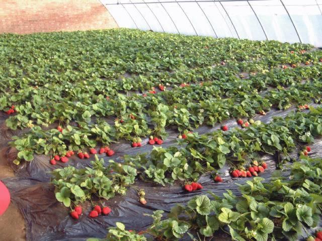 长春周边的草莓采摘攻略来了! 第13张