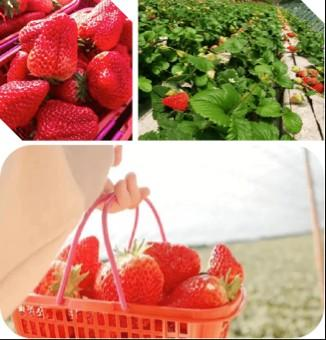 长春周边的草莓采摘攻略来了! 第16张