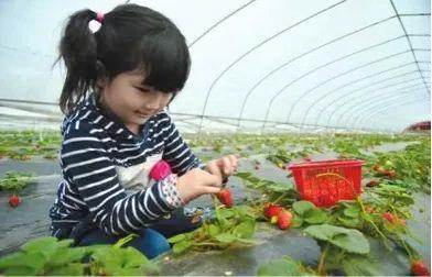 长春周边的草莓采摘攻略来了! 第20张