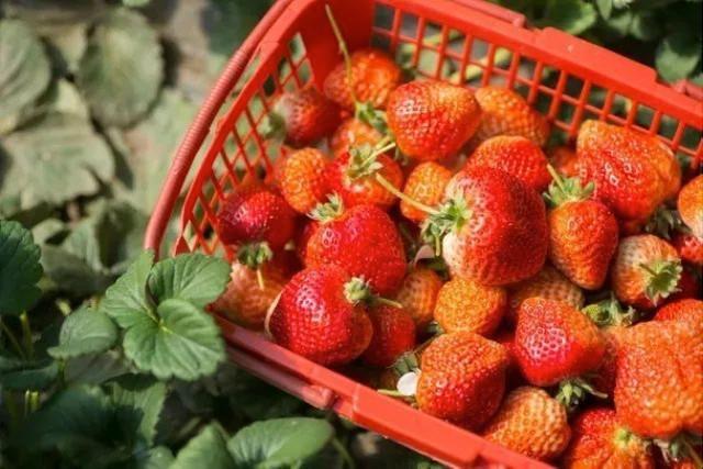 长春周边的草莓采摘攻略来了! 第24张