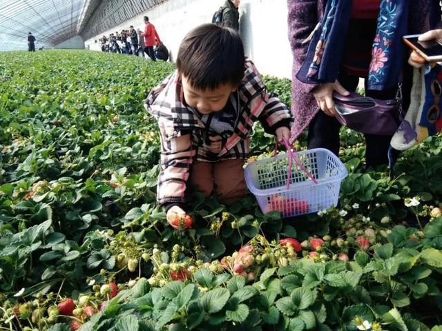长春周边的草莓采摘攻略来了! 第29张