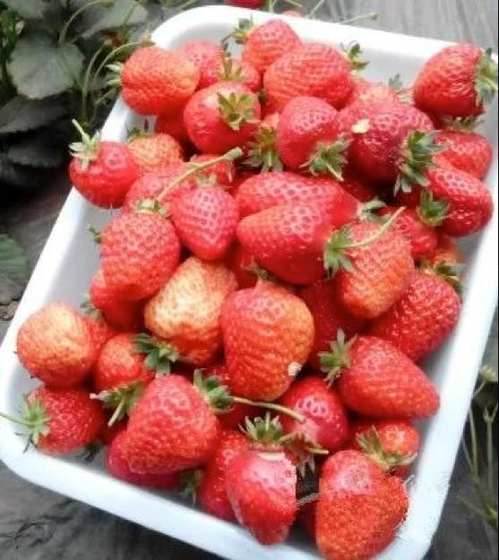 长春周边的草莓采摘攻略来了! 第31张
