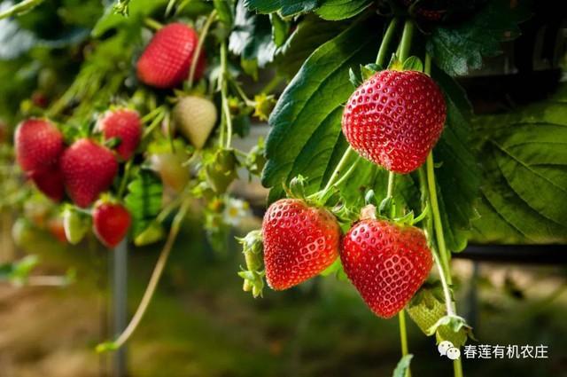 长春周边的草莓采摘攻略来了! 第54张
