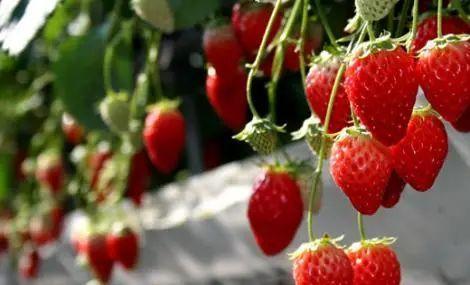 长春周边的草莓采摘攻略来了! 第58张