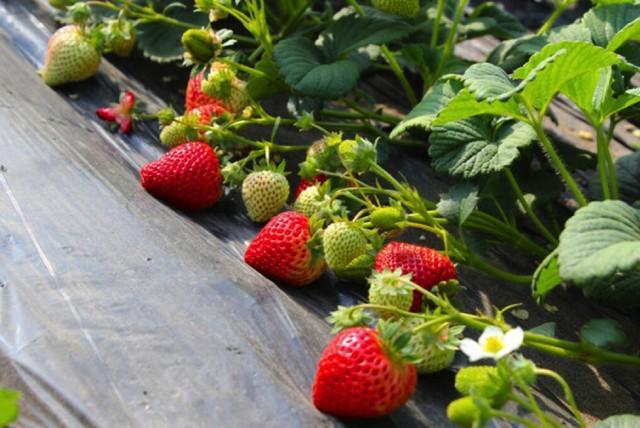 长春周边的草莓采摘攻略来了! 第63张